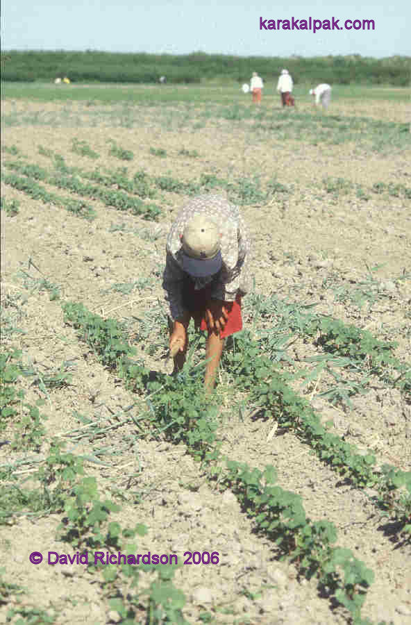 Young Karakalpak boy weeding the new cotton crop, near Kegeyli